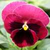 Viola Power red with blotch