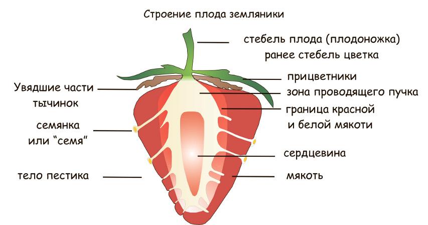 этой статье как узнать плод клубники термобелье для