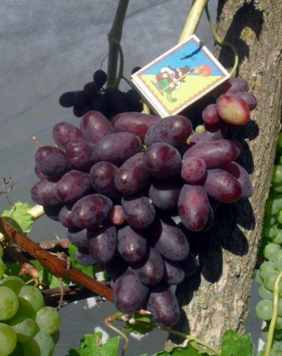 сорт винограда изюминка фото и описание оснастили