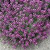 Alyssum Clear Crystal Purple