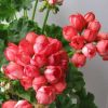 Pelargoniya Red Pandora