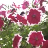 Petunia Dreams Burgundy Picotee