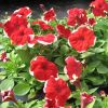 Petunia Dreams Red Picotee