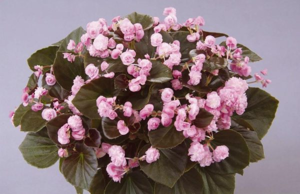 Begonia paso doble double candy pink2