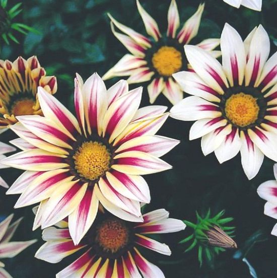 Gazania New Day Rose Stripe