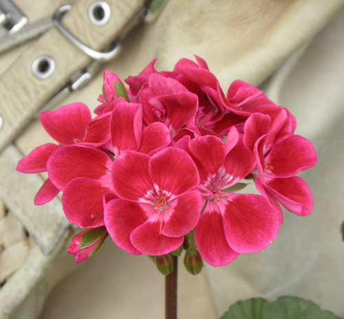 Pelargoniya Toscana Hero